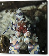 Blue Spotted Harlequin Shrimp, Bali Acrylic Print