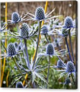 Blue Stem Sea Holly Acrylic Print
