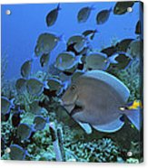 Blue Tang Surgeonfish Acrylic Print by Georgette Douwma