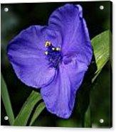 Blue Wildflower 6 Acrylic Print