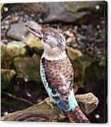 Blue-winged Kookaburra 2 Acrylic Print