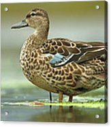 Blue-winged Teal Anas Discors Female Acrylic Print