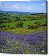 Bluebell Flowers On A Landscape, County Acrylic Print