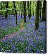 Bluebell Wood, Near Boyle, Co Acrylic Print