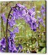 Bluebells (hyacinthoides Non-scripta) Acrylic Print