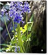 Bluebells In The Woods Acrylic Print