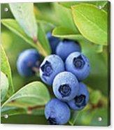 Blueberries Growing On A Shrub Acrylic Print