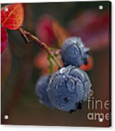 Blueberry Dewdrops Acrylic Print