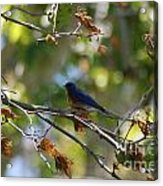 Bluebird At Rest Acrylic Print