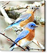Bluebird Couple Acrylic Print