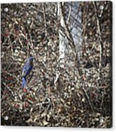 Bluebird In Barberries Squared Acrylic Print