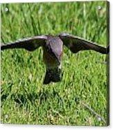 Bluebird In Flight Acrylic Print