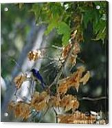 Bluebird On A Limb Acrylic Print