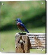 Bluebird On The Fence Acrylic Print