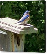 Bluebirds Make Me Happy Acrylic Print