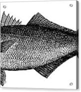Bluefish Acrylic Print