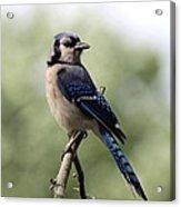 Bluejay - Bird Acrylic Print