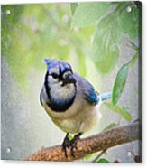 Bluejay In A Tree Acrylic Print