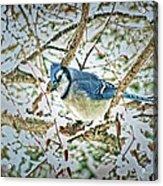 Bluejay In Birches Acrylic Print