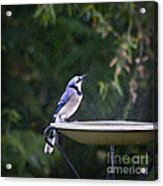 Bluejay In The Rain - Artist Cris Hayes Acrylic Print