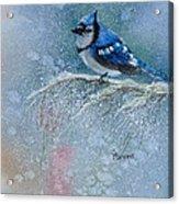 Bluejay In Winter Acrylic Print