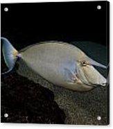 Bluespine Unicornfish Acrylic Print