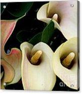 Blushing Calla Lilies Acrylic Print