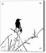 Boattail Grackle Acrylic Print