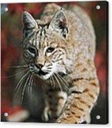 Bobcat Felis Rufus Acrylic Print