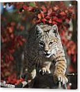 Bobcat Felis Rufus Walks Along Branch Acrylic Print
