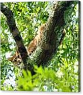 Bobcat In Tree Acrylic Print