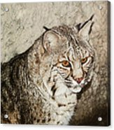 Bobcat Iv Acrylic Print by DiDi Higginbotham