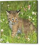 Bobcat Kitten Acrylic Print by John Pitcher