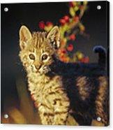 Bobcat Kitten Standing On Log North Acrylic Print