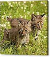 Bobcat Kittens Acrylic Print