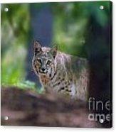 Bobcat Looking Acrylic Print