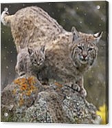 Bobcat Mother And Kitten In Snowfall Acrylic Print by Tim Fitzharris
