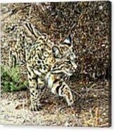 Bobcat Stalking Prey Acrylic Print