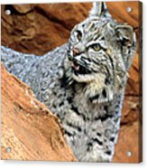 Bobcat With A Smile Acrylic Print