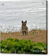 Bodega Bay Bobcat Acrylic Print by Mitch Shindelbower