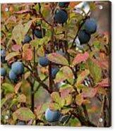Bog Bilberry Acrylic Print