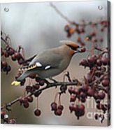 Bohemian Waxwing Acrylic Print by Chris Hill