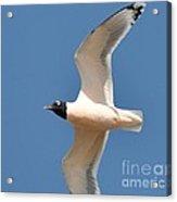 Bonapate Gull In Flight Acrylic Print