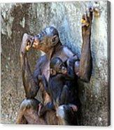 Bonobo 1 Acrylic Print