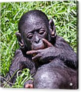 Bonobo 2 Acrylic Print