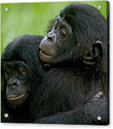 Bonobo Orphans Hugging Acrylic Print