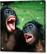 Bonobo Pan Paniscus Juvenile Pair Acrylic Print