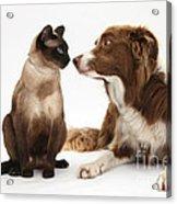 Border Collie & Siamese Cat Acrylic Print