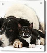 Border Collie And Tuxedo Kitten Acrylic Print
