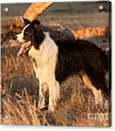 Border Collie At Sunset Acrylic Print